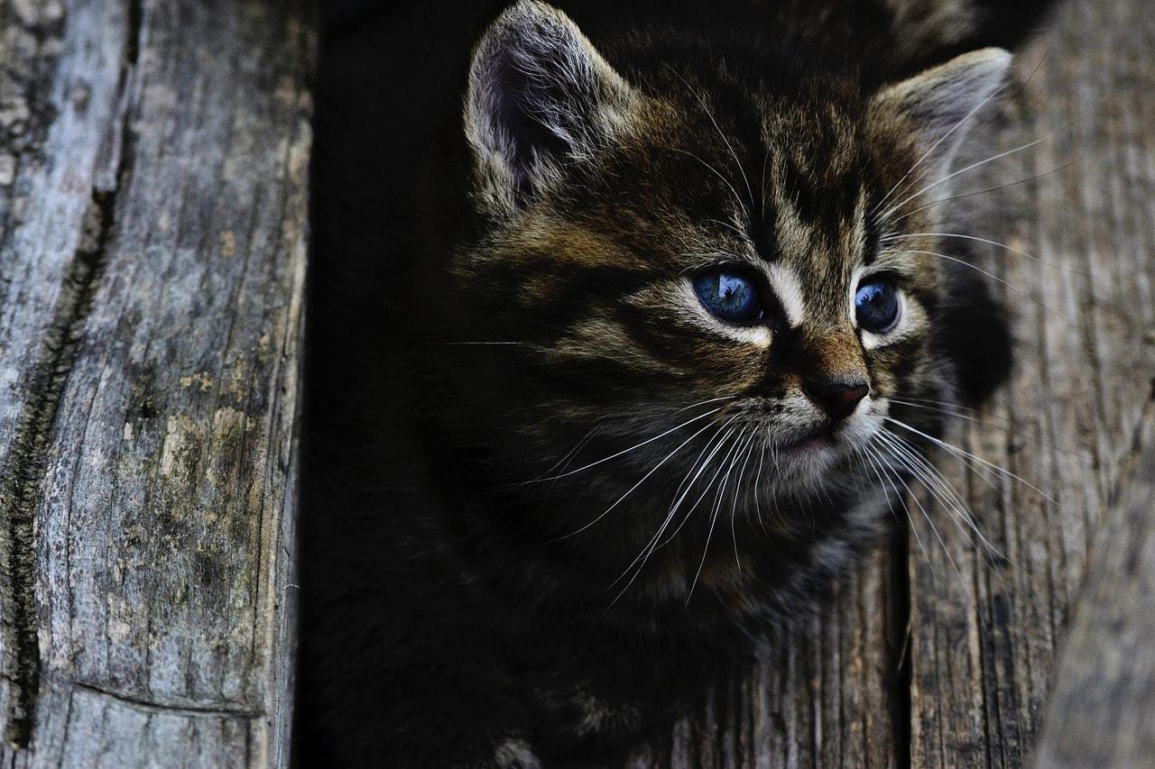 Braun Schwarze Katze Stubentiger