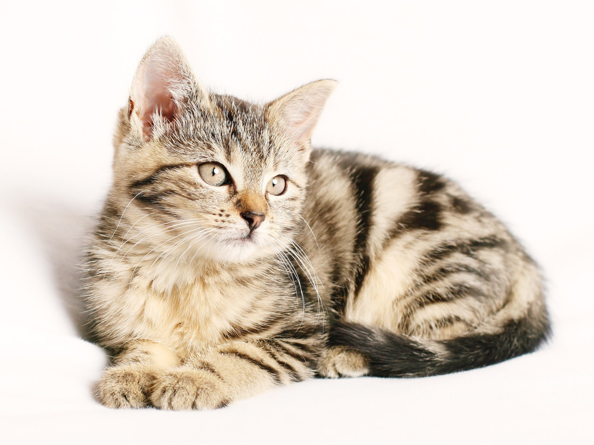 Hübsche Katze Pflegeleicht Model