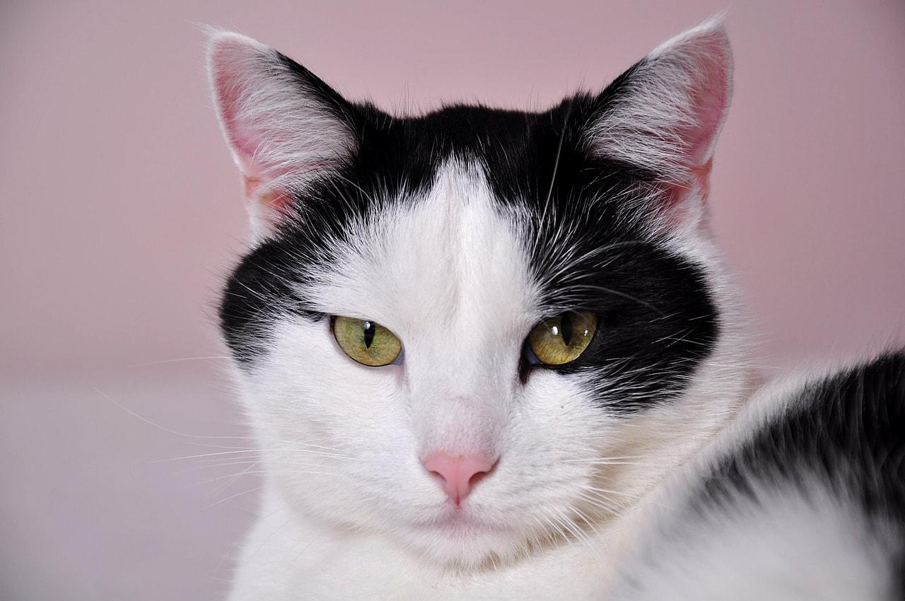 Katze Schwarz Weiß Gelbe Augen