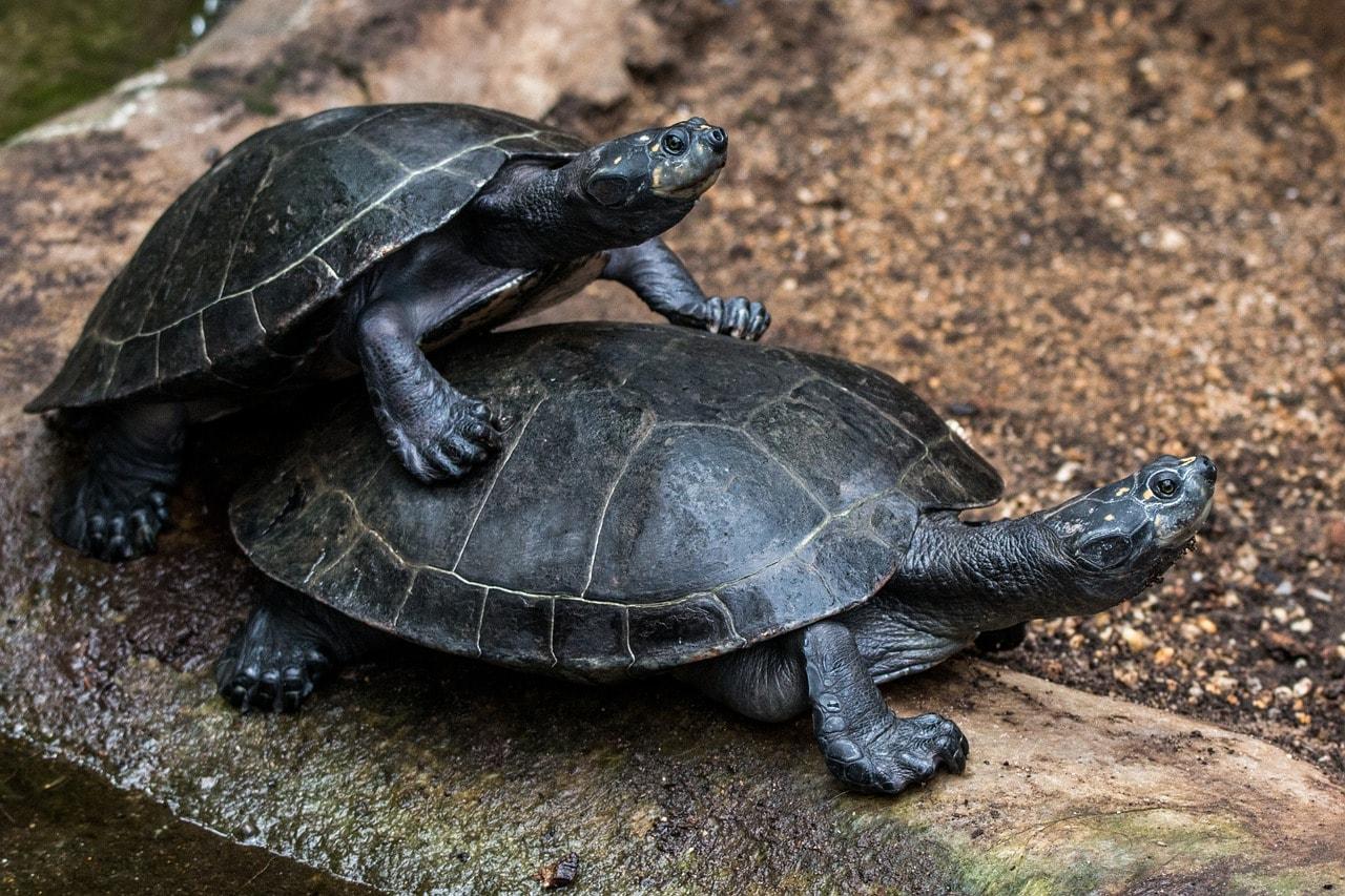 Wasserschildkröten spielen auf einem Stein