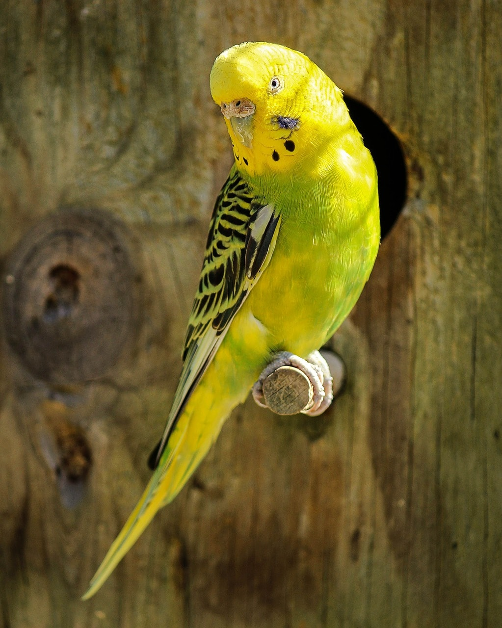 Wellensittich Birdy im Vogelhaus